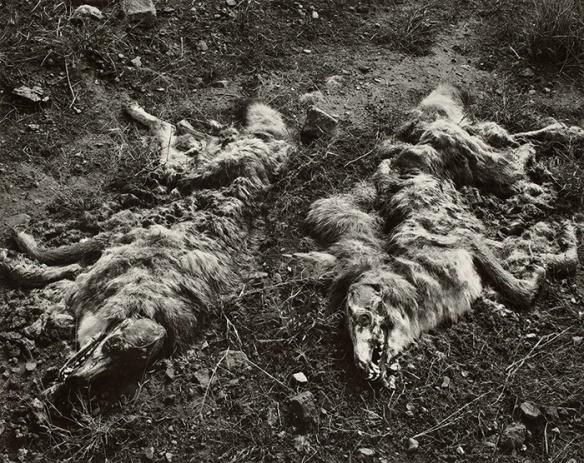 Frederick Sommer - Coyotes, 1941 - © Frederick & Frances Sommer Foundation
