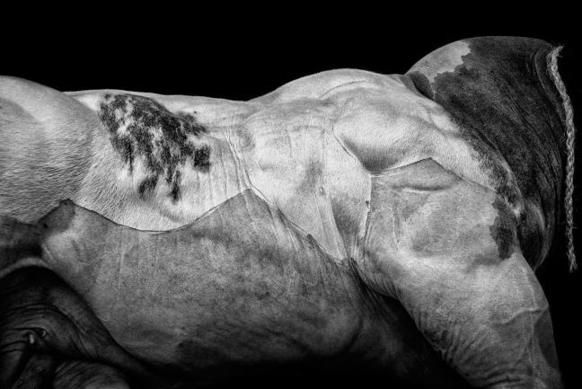 """Cédric Gerbehaye, Abricot des trèfles, bull of 925 kg, Libramont agricultural fair, from the series """"D'Entre eux"""", 2014 © Cédric Gerbehaye"""