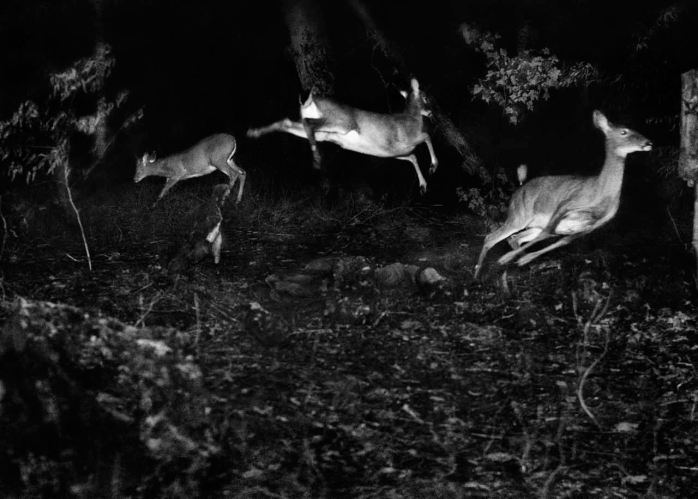 George Shiras, three Virginian deer, about 1893-1898 © National Geographic Creative Archives