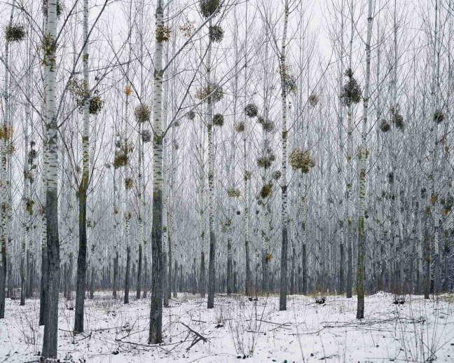 Tamas Dezso, Forest  With Mistletoe, West Romania, from the series Notes for an Epilogue, 2011-2015 © Tamas Dezso