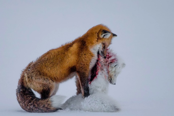 Don Gutoski, A Tale of Two Foxes - Don Gutoski, Wildlife Photographer of the Year 2015 - © Don Gutoski